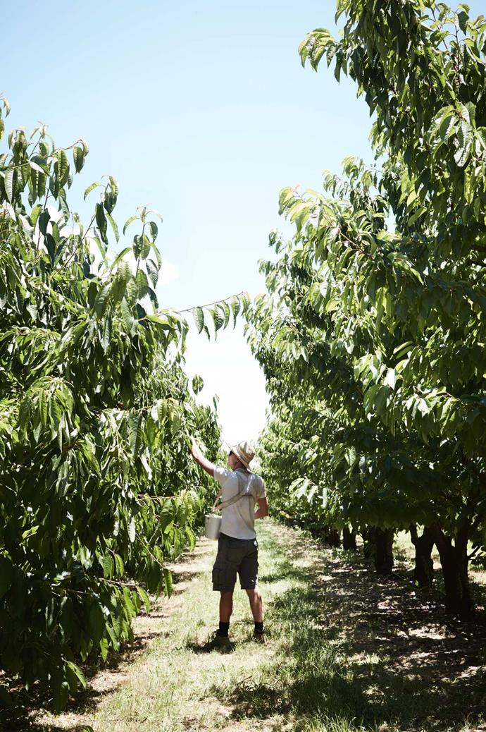 While Stephen says it was a steep learning curve getting to know the orchard and the workings of the business, many other Orange orchardists offered him help.