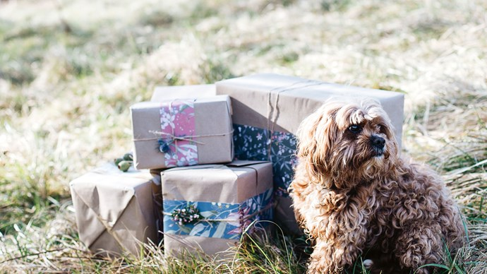 Jersey, the family's King Charles Cavalier-poodle cross protects Christmas presents from prying hands.  | Photo: Abbie Melle