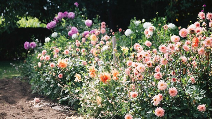 Out in the garden, dahlias pepper the vegetable patch with bright pastels.  | Photo: Annabelle Hickson
