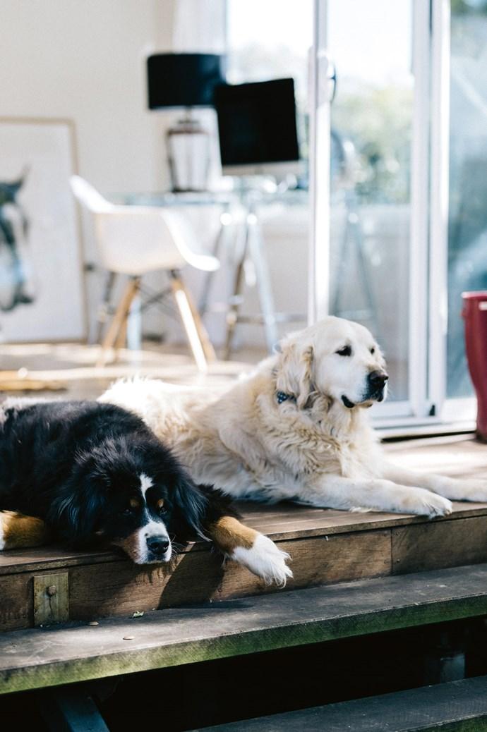 Bernie the Bernese mountain dog and Wilbur the golden retriever lounge on Katie's studio deck.    Photo: Marnie Hawson