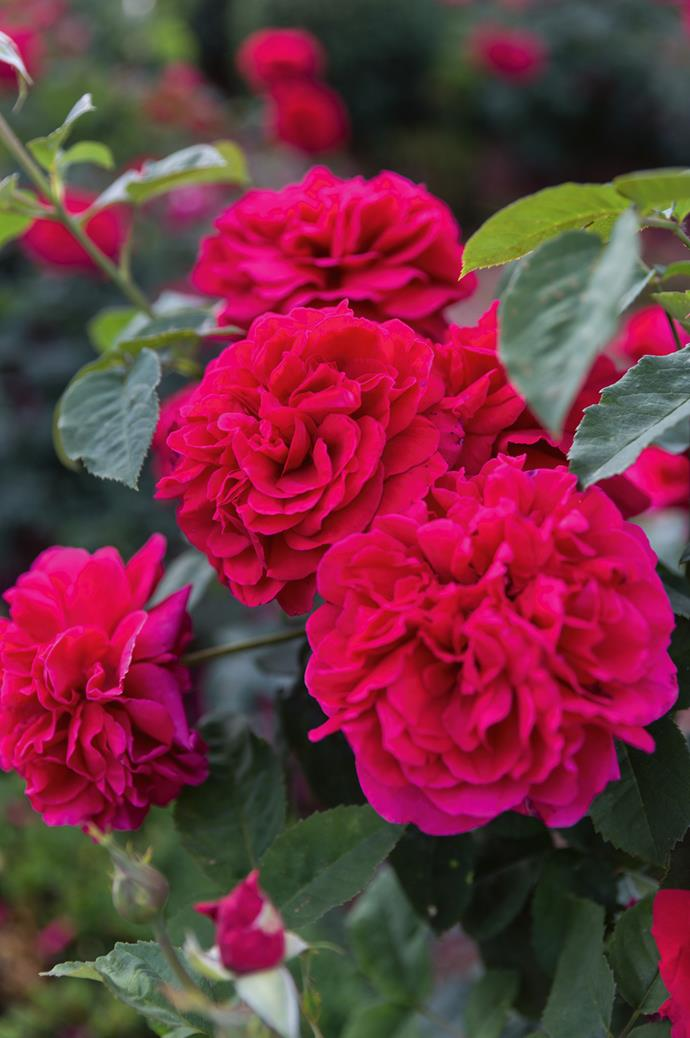 'L.D. Braithwaite' roses close-up. They begin to open after the wisteria finishes its 10-day bloom.
