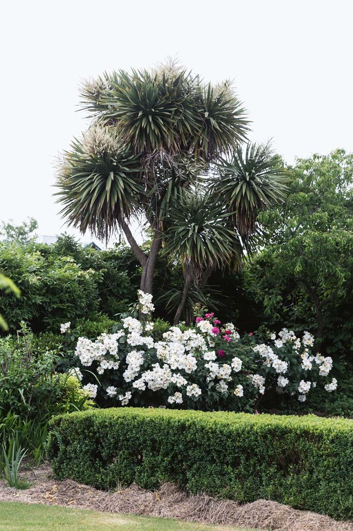 'Sally Holmes' roses, which grow under the 'Cordyline Australis' tree, are one of Amelia's favourites for cutting.