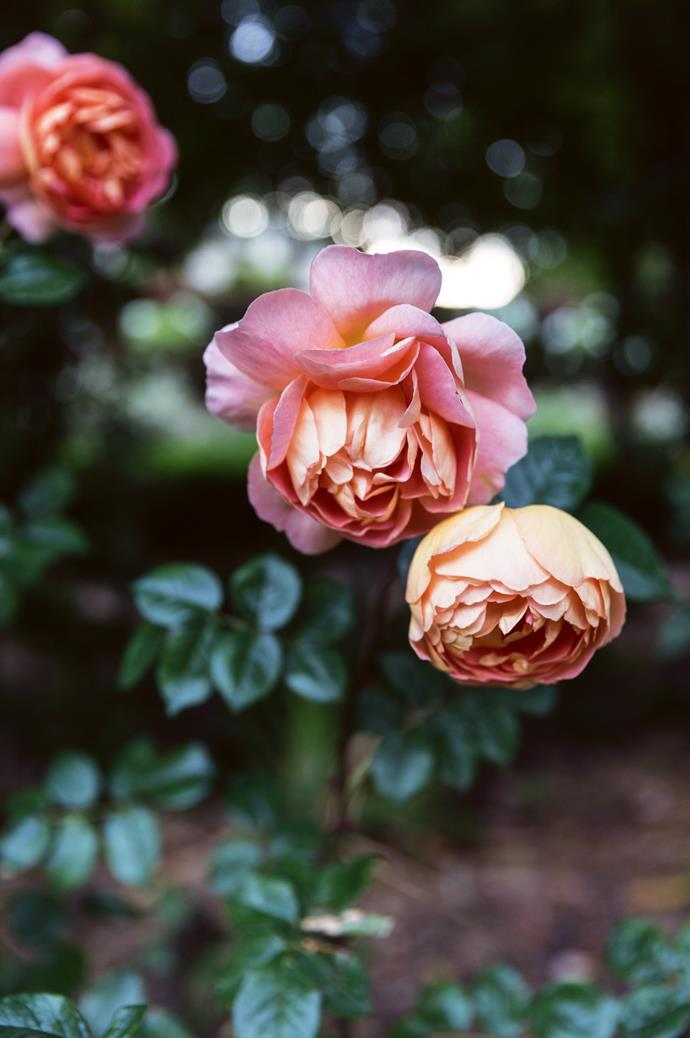 """'Lady of Shalott' roses grow in the garden. One of the couple's friends tends to the roses on a voluntary basis, simply out of a love of gardening. """"Friendships have been formed over working in the garden, which is something so unexpected and lovely for me,"""" Amelia says."""