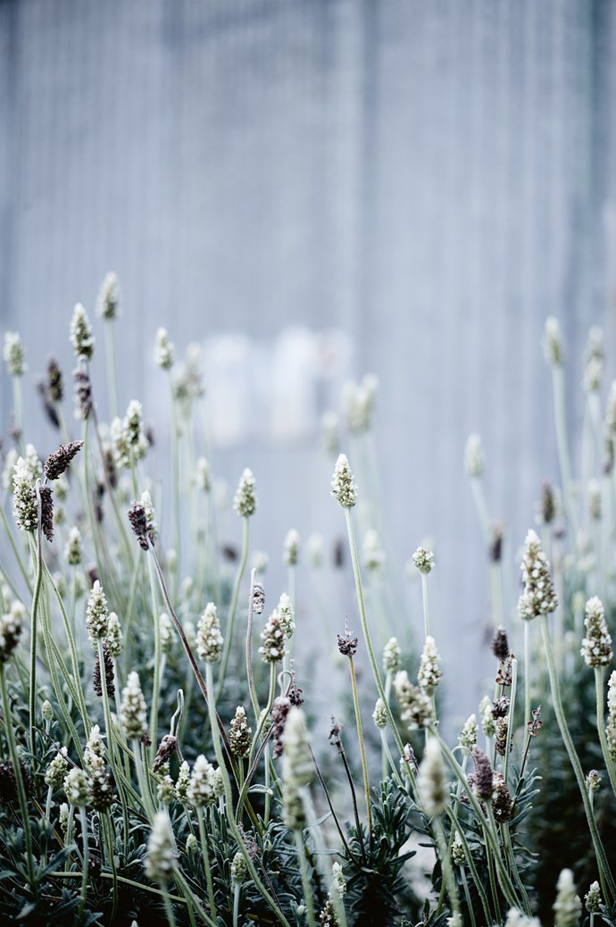 Lavender grows in the French-inspired garden.  | Photo: Mark Roper