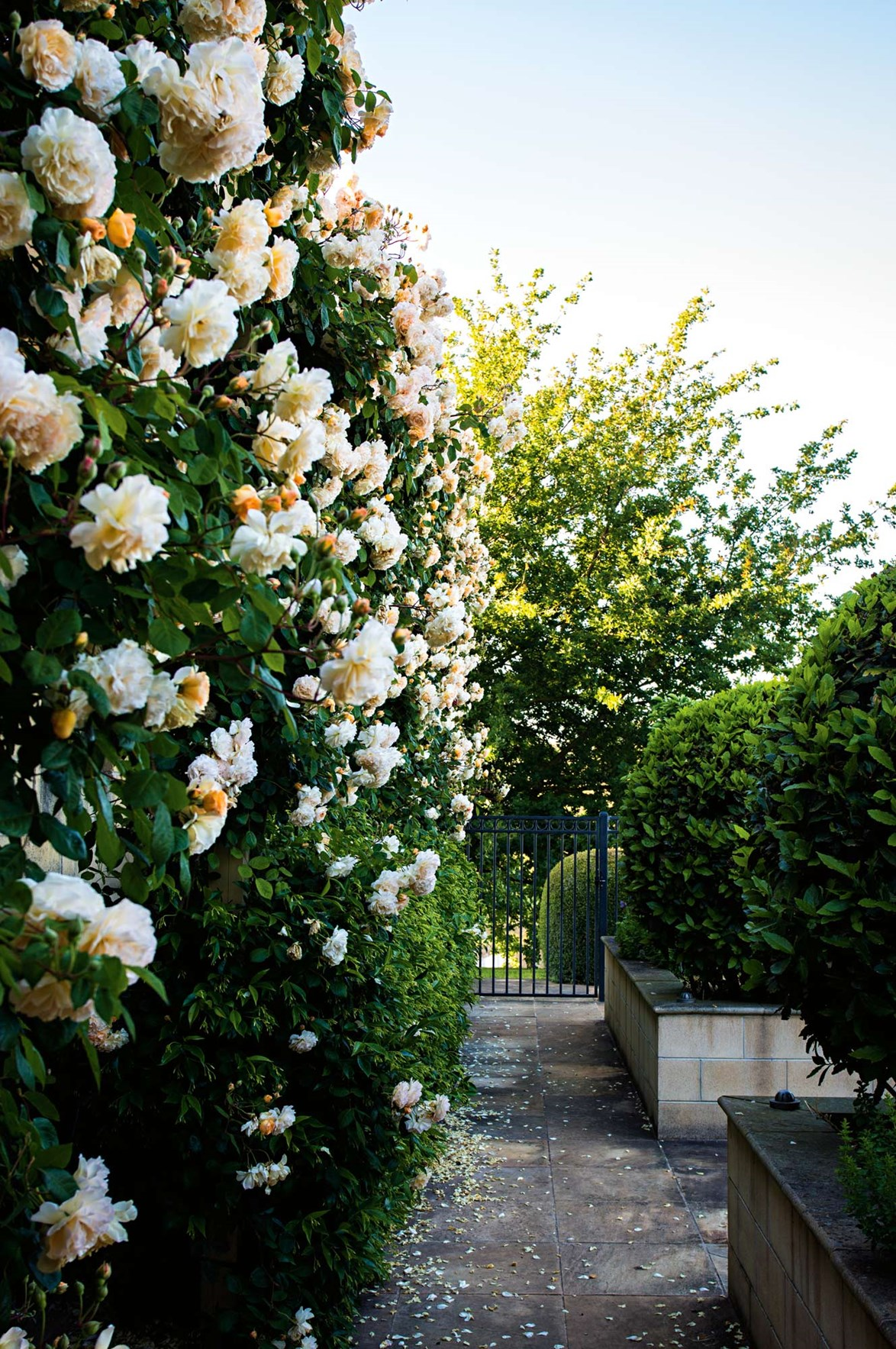 "Climbing 'Buff Beauty' roses create a showstopping entryway to this stunning [Mornington Peninsula property](https://www.homestolove.com.au/garden-with-secret-lake-on-mornington-peninsula-13836|target=""_blank"")."