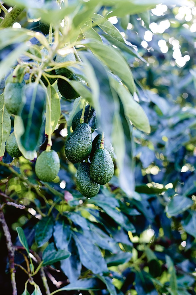 Avocados, honey, capers and grapes are Burnside's primary crops. Avocado season extends from October to December, when fruit sprouts from the grove's 100 trees.  | Photo: Mark Roper