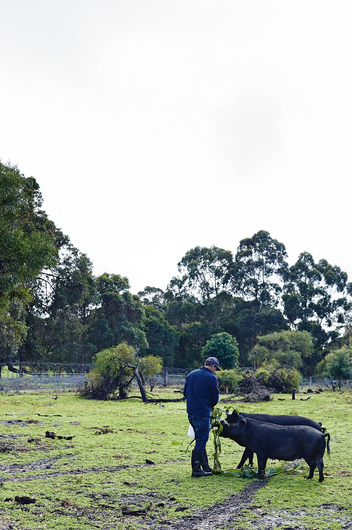 "A pair of Berkshire pigs gobble up organic avocado scraps at [Burnside Organic Farm](https://burnsideorganicfarm.com.au/home-6-2/|target=""_blank""