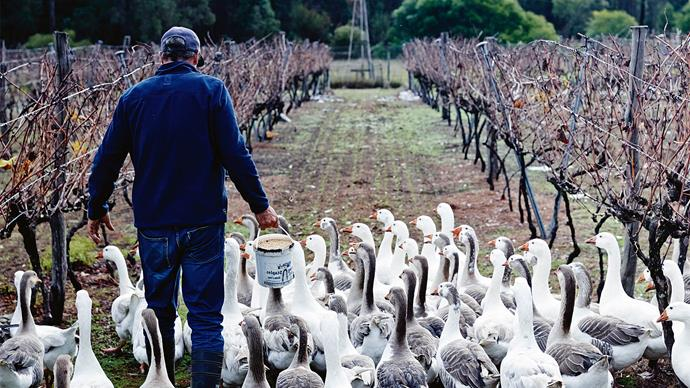 "Geese gather around Jamie in the vineyard. Not only are the geese great companions, they're also hard-working farm hands, eating grass and [fertilising the soil](https://www.homestolove.com.au/how-to-use-fertiliser-10000|target=""_blank"")."