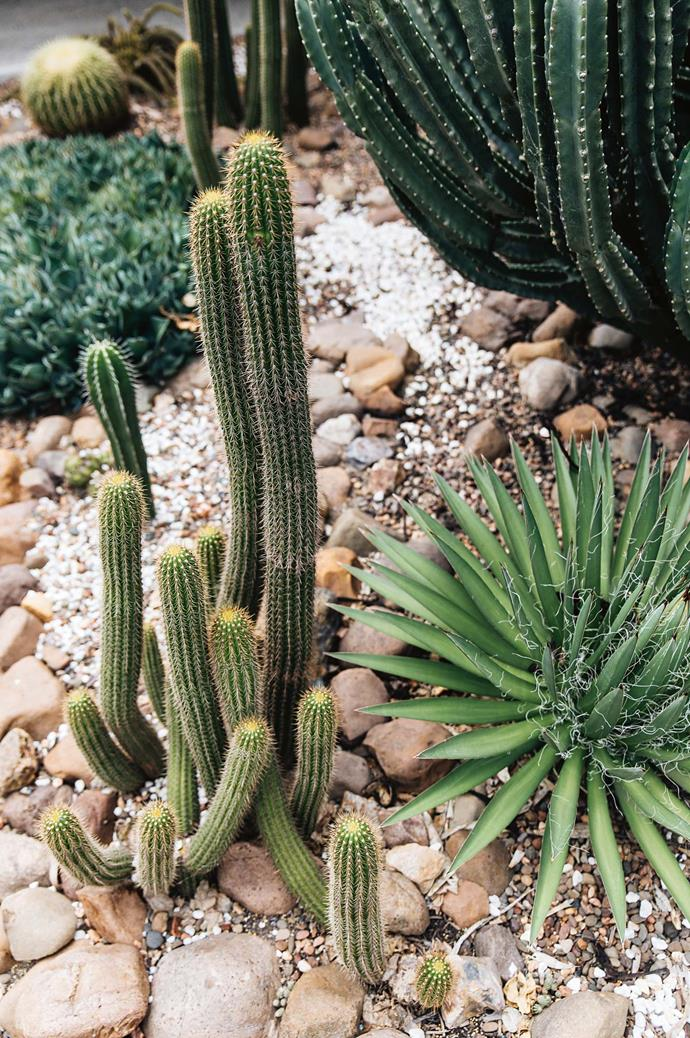 """The golden torch cactus (echinopsis spachiana) grows large, [sweet-smelling flowers](https://www.homestolove.com.au/fragrant-flowers-plants-for-scented-garden-5341
