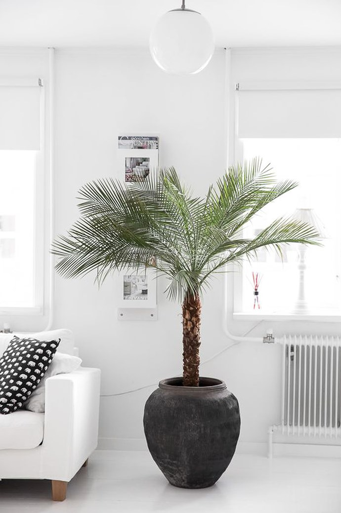 1\. Dwarf date palm. This pet-friendly plant removes formaldehyde, xylene and toluene from the air. And just what are these toxins and what do they do? [Formaldehyde is found](https://www.epa.gov/formaldehyde/facts-about-formaldehyde#whatare) in virtually all indoor environments, from grocery bags, waxed papers, facial tissues, and paper towels to common household cleaning agents, cigarette smoke and heating and cooking fuels. It irritates the mucous membranes of the eyes, nose, and throat and can cause contact dermatitis, irritation of the upper respiratory tract and eyes and headaches. [Toluene and xylene](https://www.gov.uk/government/uploads/system/uploads/attachment_data/file/318006/hpa_Xylene__General_Information_v1.pdf) are strong compounds used in many household and industrial products, and poisoning can occur when swallowed, the fumes are breathed in, or when they touch the skin. Other pet-friendly plants that attack these toxins? Check out the Areca palm, Kimberly queen fern, Bamboo palm, and the Broadleaf lady palm. Image courtesy of [Damernas Varld](http://www.damernasvarld.se/)