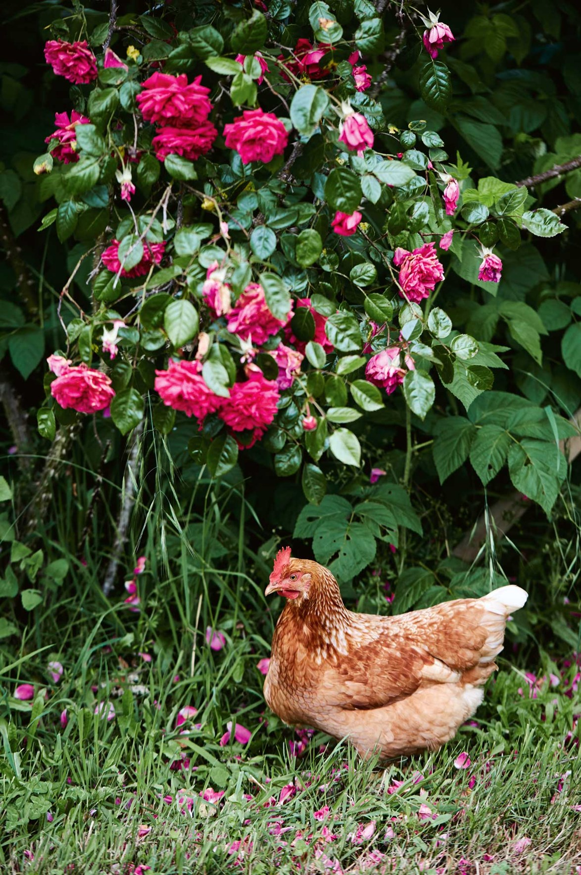 """An Isa Brown hen potters around among fragrant rose blooms. It may be hard to believe, but roses are just one of many standout features at [Rose Haven](https://www.homestolove.com.au/rose-haven-a-lush-garden-in-northern-tasmania-14015