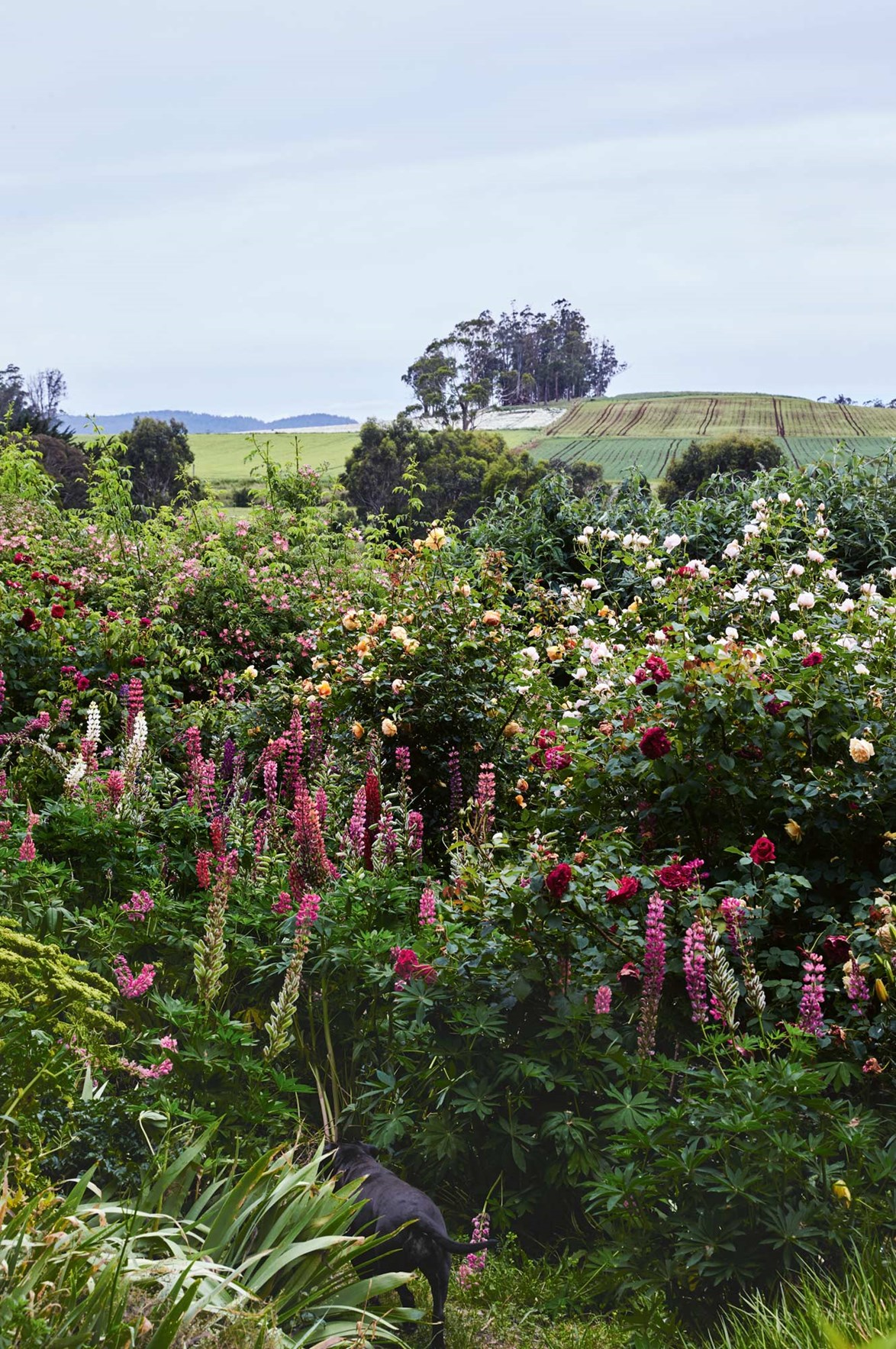 """Sable the dog disappears into bushes of roses and other tall perennials. This sprawling garden is the brainchild of Tom Lyons and Fraser Young, who were inspired to create a [garden in Northern Tasmania](https://www.homestolove.com.au/rose-haven-a-lush-garden-in-northern-tasmania-14015