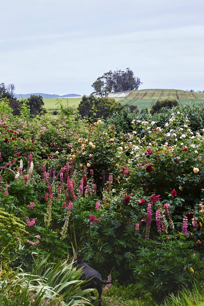 Large shrub roses are interspersed with tall annuals and perennials including lupins. Tom and Fraser's dog Sable can just be spotted sniffing around.