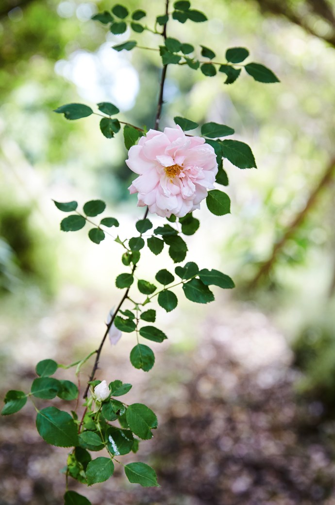 A 'Sander's White Rambler' rose. Tom considers this flower his favourite.