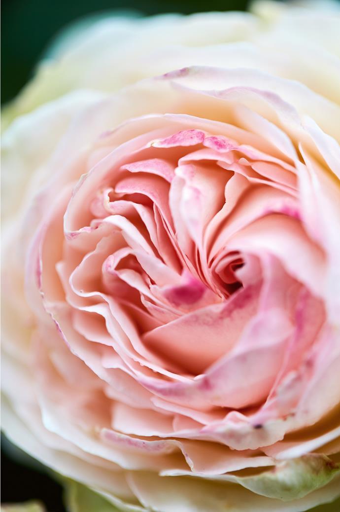 A 'Blushing Pierre de Ronsard' rose.