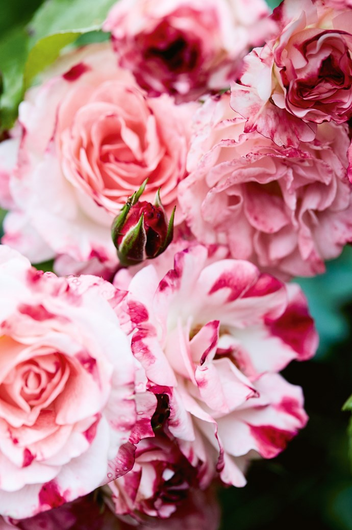 The striped 'Sentimental' rose.