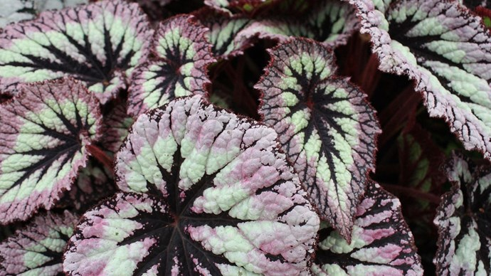 <p>**Begonia leaves**<p>  <P>With felt-rimmed edges and a striking contrast of burgundy hues and iridescent silvers, begonia leaves break up the fresh white blooms of a traditional wedding bouquet. Pair them with darker florals for a brooding, autumnal aesthetic. <P> <p>*Image courtesy of The Frustrated Gardener.*<p>