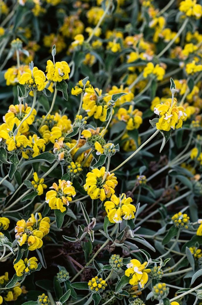 A close-up look at a 'Phlomis fruticosa' shrub.