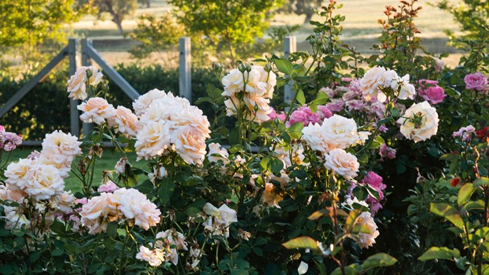 "Goonoo Goonoo roses alongside pink and mauve [floribunda roses](https://www.homestolove.com.au/rose-varieties-australia-3218|target=""_blank"")."