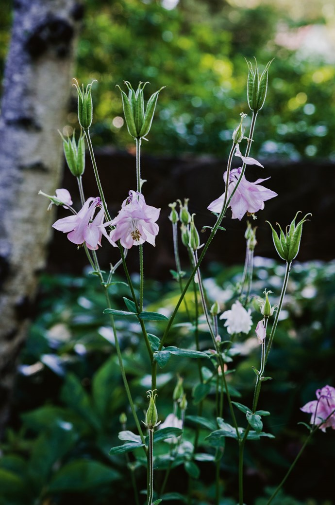 "Aquilegias, also called columbines, self-seed through this woodland garden and [flower in spring](https://www.homestolove.com.au/11-best-spring-flowers-13235|target=""_blank"")."