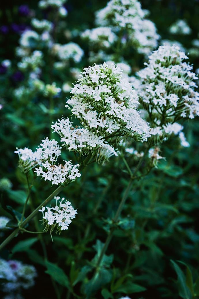 'Centranthus', or 'Kiss-me-quick', is another self-seeding plant in the garden.