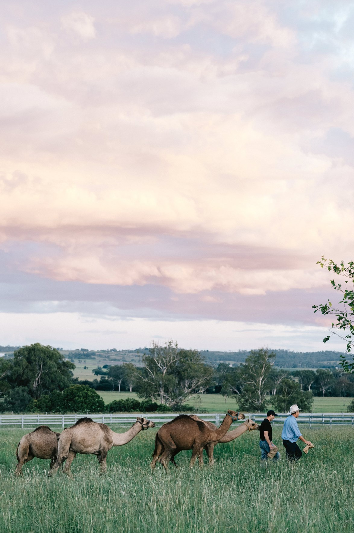 """Sustainable farmers Paul and Jeff lead a small number of their 550-strong camel herd through a paddock at their [dairy farm in Harrisville, QLD](https://www.homestolove.com.au/got-milk-award-winning-camel-dairy-farm-harrisville-qld-14056