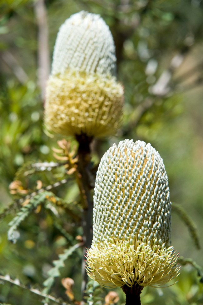 **Banksia** | [Banksias](http://www.homelife.com.au/gardening/plant+guides/plant+guide+banksias,5422) are among the most generous of Australian native plants. They flower for months providing colour for gardens and nectar for insects, birds and even small animals.
