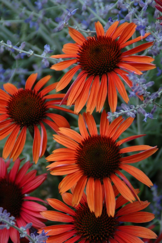 **Echinacea** | [Echinacea](http://www.homelife.com.au/gardening/how+to+grow/how+to+grow+echinacea,15249) 'Sundown' was developed by Richard Saul as a hybrid between _E. purpurea_ and _E. paradoxa_. It has tones of copper and rosy coral that vary in strength with the season and flower age. It features a flat-topped cone in the centre of the bloom and has a honey scent and grows to around 60–90cm.