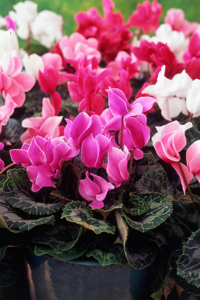 **3\. Cyclamen**  This pretty plant often used as ground cover or potted colourcan cause vomiting, convulsions, and paralysis.
