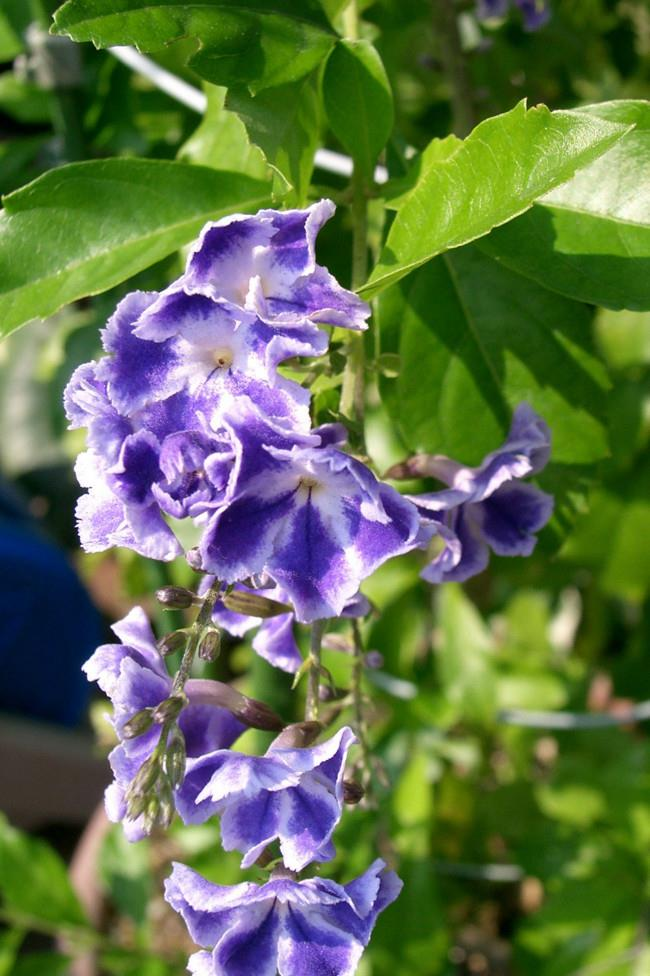 **6\. Duranta**  Classified as an invasive weed in Australia, ingesting the leaves and berrries of duranta have caused death in children, cats and dogs.