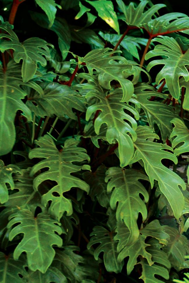 **7\. Philodendron Xanadu**  Often grown as indoor plants symptoms of ingestion can include swelling of the tongue and an inability to speak, while contact with the leaves can cause mild dermatitis.