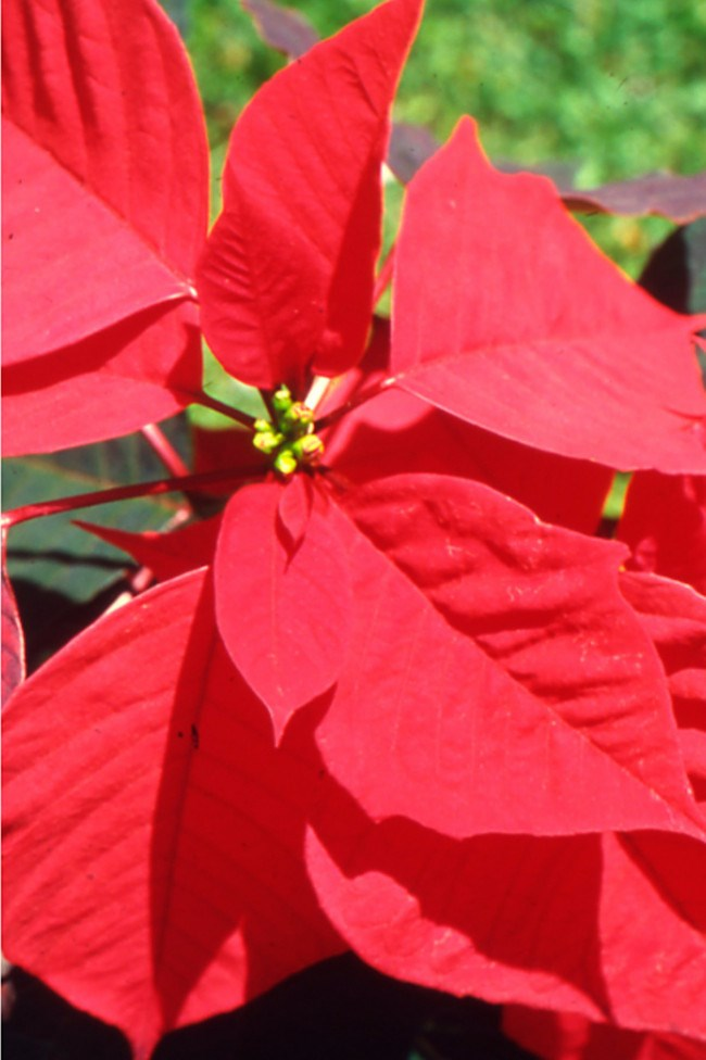 **8\. Poinsettia**  Although often decoratively used during Christmas poinsettia sap can irritate skin and eyes like most plants in the Euphobiaceae family.  Keep the number for the [Poisons Information Centre](http://www.chw.edu.au/poisons/) handy (13 11 26). If something ingested causes irritation or toxicity, take a piece with you to the doctor or hospital. For severe reactions call 000.  **For more information head to: **  [Australian National Botanic Gardens](http://www.anbg.gov.au/poison-plants/index.html)  [NSW Department of Primary Industries Poison fact sheet ](http://www.dpi.nsw.gov.au/agriculture/pests-weeds/weeds/publications/garden-plants-poisonous-to-people)