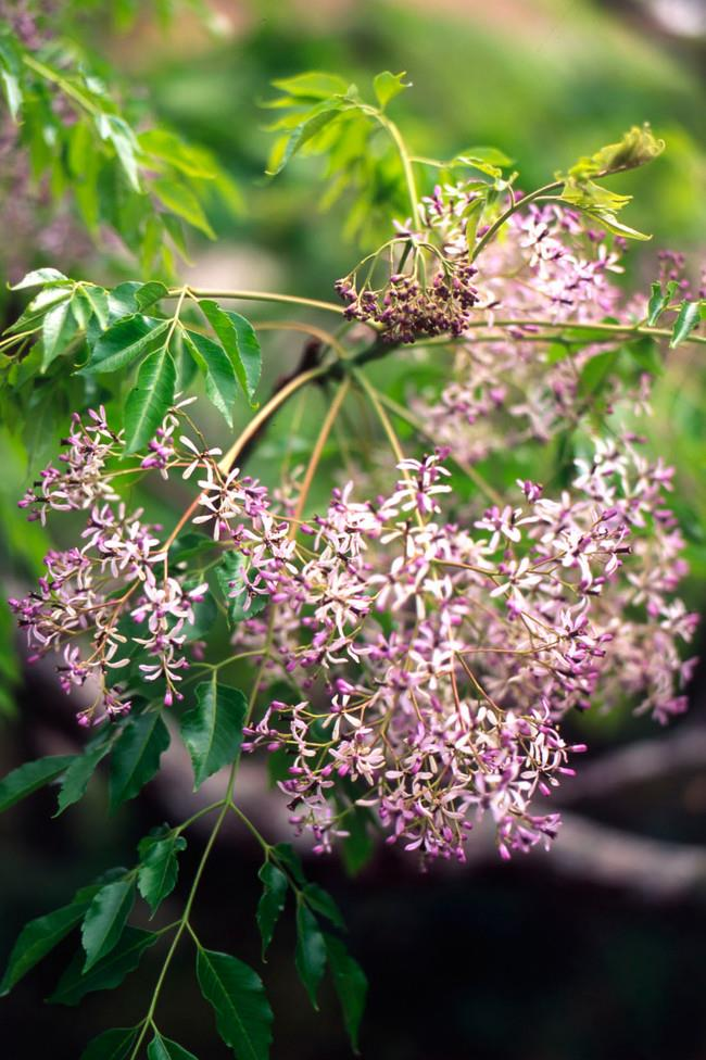 **5\. White Cedar**  The orange seeds of the white cedar (Melia azederach) are quite ornamental but they are also extremely toxic – just 6–8 seeds can cause a severe reaction.