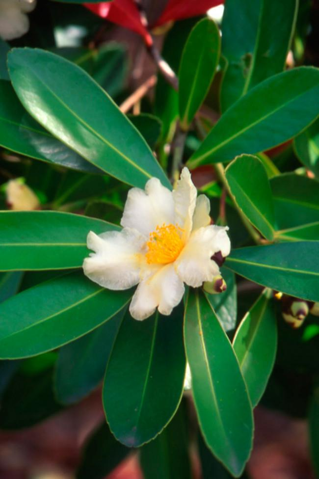 Gordonia flowers stand out against their dark, evergreen leaves. They give double value as the flowers always fall 'butter' side up in a floral carpet around the tree. This is a lovely evergreen shrub or small tree for a sunny garden.