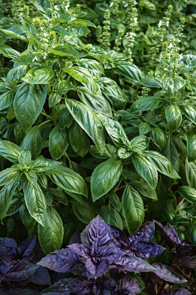 Abundant basil thrives in the kitchen garden Photographer: Brigid Arnott