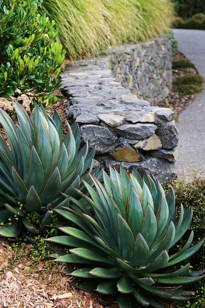 'Blue Glow' agave plants are an eyecatching feature next to the stacked-stone wall that curves towards the courtyard and fishpond Photographer: Brigid Arnott