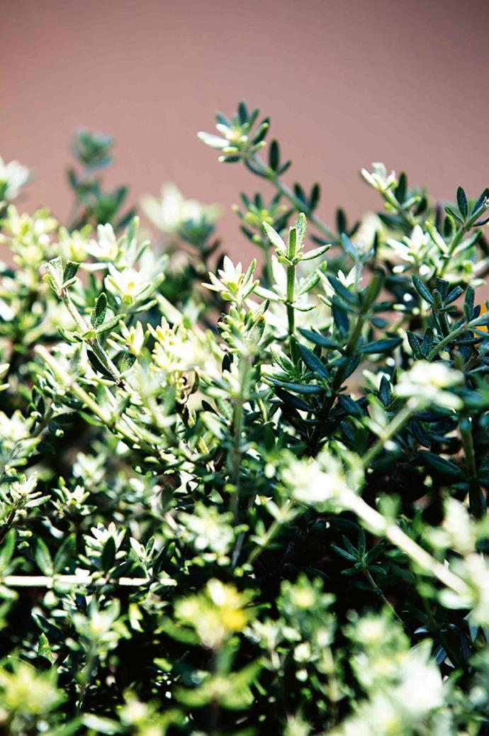 Coastal rosemary is a native evergreen shrub. It's both salt tolerant and low maintenance.
