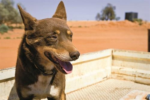 Australian Dog 4