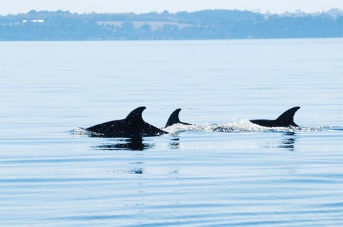 Dolphins in Lakes Entrance