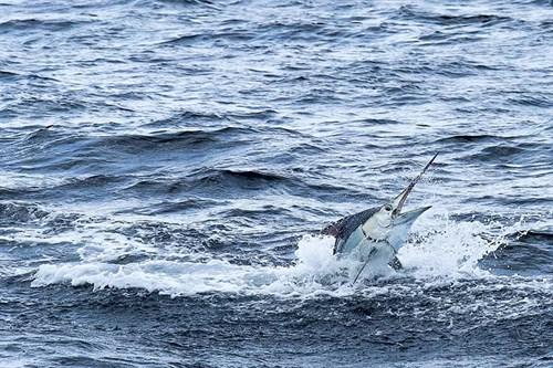 Marlin fishing strike