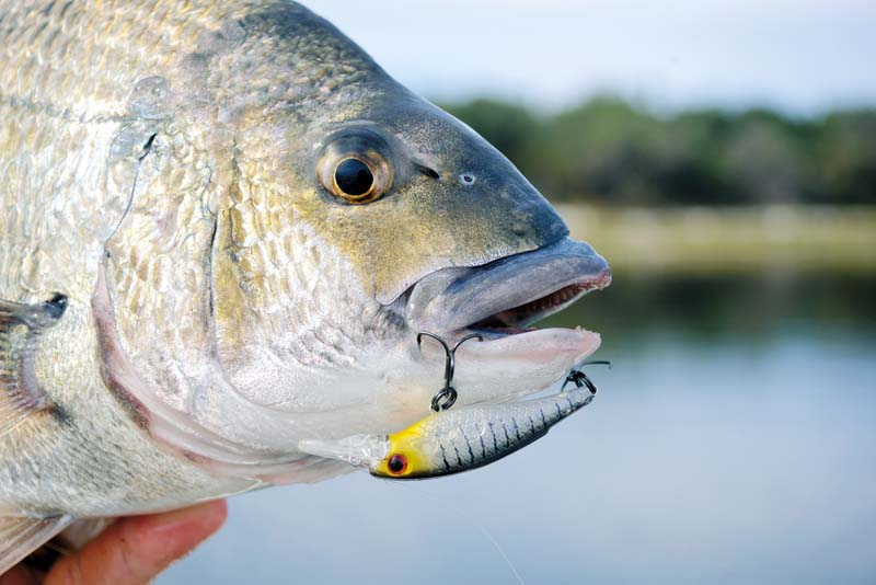 Hardbodied lure in fish mouth