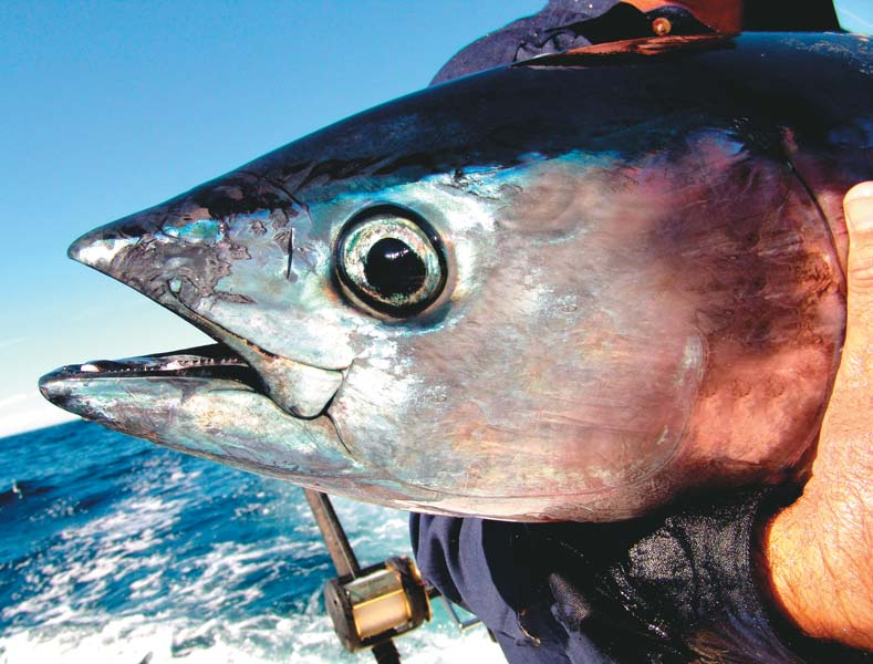 Head of southern bluefin tuna