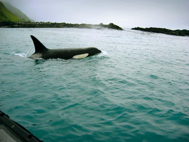 Orca whales at Macquarie Island