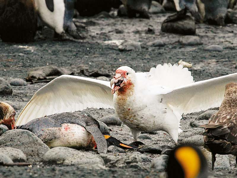 Southern giant petrel eating a penguin