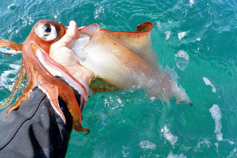 Squid caught in Two Fold Bay