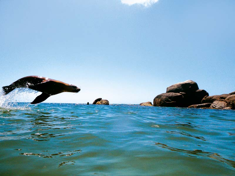 Swimming with fur sea lions