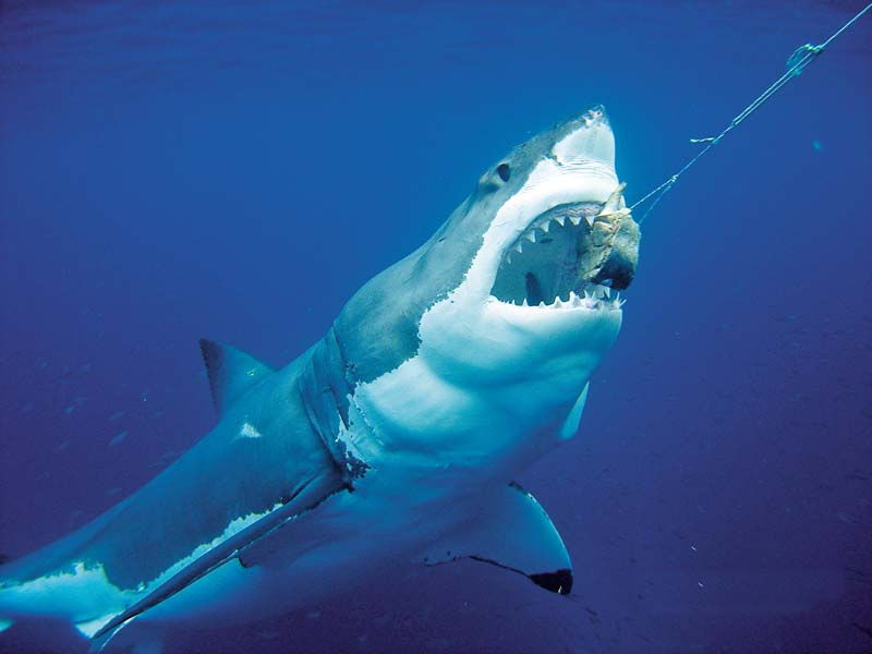 Feeding great white shark from a charter