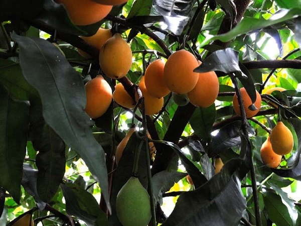 Achacha Fruit On Tree