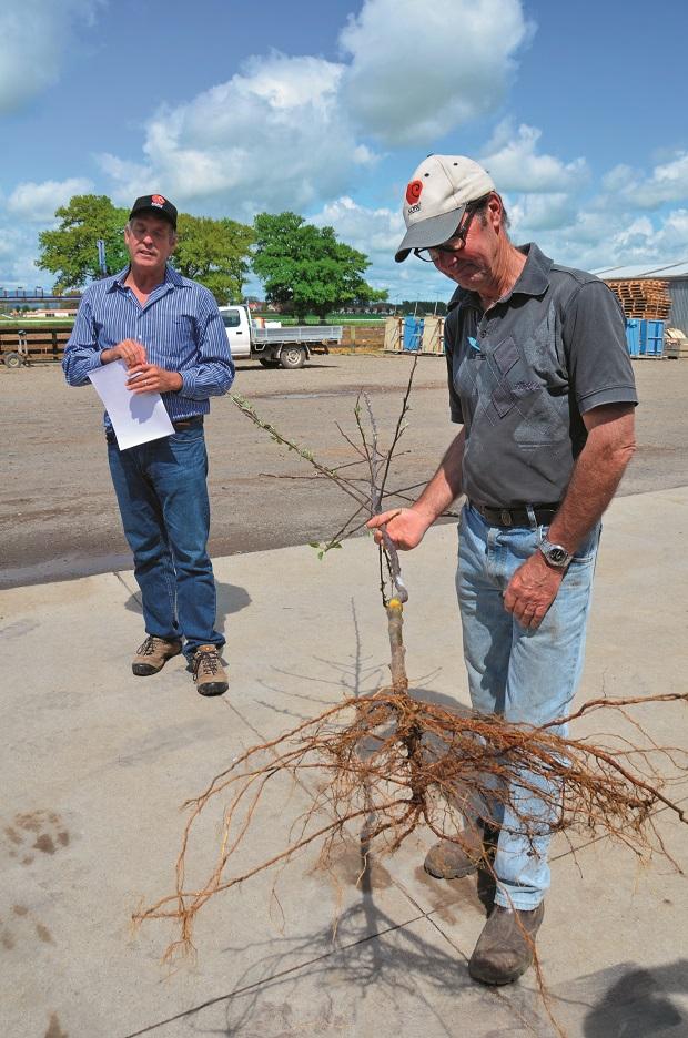 Koru Apple Tree Root