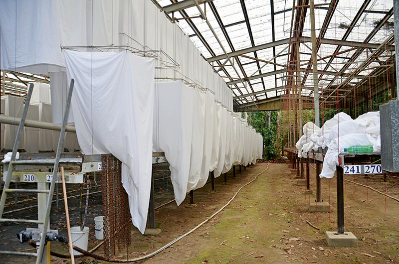 Maringa Sugar Research Station _breeding Lanterns